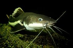 South American Red Tailed Catfish