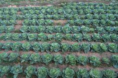 #Lettuce #Gozo