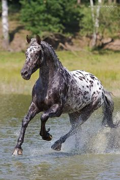 Appaloosa running through the water.