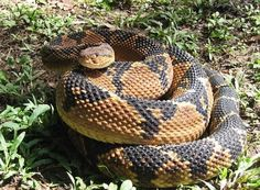 Bushmaster (Lachesis muta) Animals Images, Animal Pictures, Pit Viper, Snake Art, Snake Venom, Beautiful Snakes, Planting Roses, Creature Feature, Reptiles And Amphibians