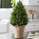"15"" cypress tree $29.99"