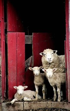 "bjornenlinda: ""Family of sheep in West Virginia """