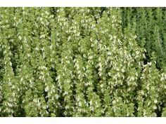 """Teucrium chamaedrys """" Alba """" - ožanka kalamandra bělokvětá forma Zahradnictví Krulichovi - zahradnictví, květinářství, trvalky, skalničky, bylinky a koření Korn, Herbs, Herb, Spice"""