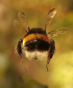 Beautiful bumblebee butt I wish I could get a great a photo as this. One of the best examples of animal photography