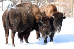 The bison do not mind the winter weather at Brookfield Zoo. Brookfield Zoo, In The Zoo, Center Of Excellence, Snow Days, All About Animals, Bison, Native Americans, Illinois, Places To Go