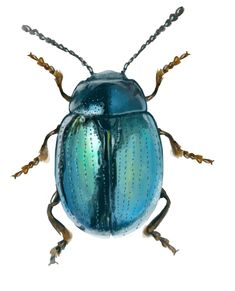 Blue Beetle Art Print by Demian Crownfield - X-Small more websites Beetle Insect, Beetle Bug, Insect Art, Cool Insects, Bugs And Insects, Beetle Drawing, Cool Bugs, Bug Art, Nature