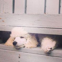 Standard Poodle Puppy, Kai