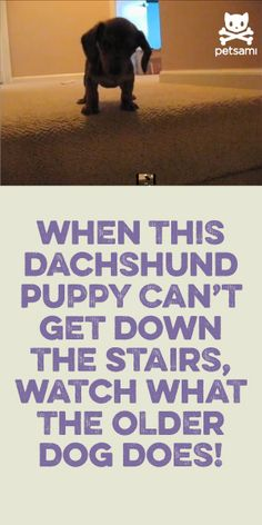 When This Dachshund Puppy Can't Get Down The Stairs... Watch What The Older Dog Does! <3