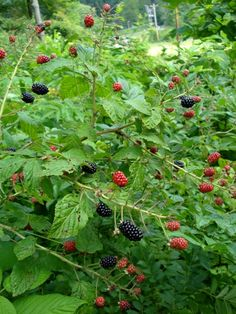 Wild Blackberry Vines