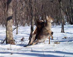 Der Hirsch versucht, sich zu wehren, hat aber keine Chance.