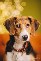 Lacey is an adorable Foxhound up for adoption in Portland, OR!