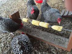 Chicken treat feeder DIY