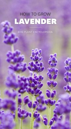 Add gorgeous fragrance to your garden with lavender: http://www.bhg.com/gardening/plant-dictionary/herb/lavender/?socsrc=bhgpin040115lavender