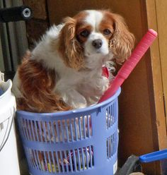 Angel the Cavalier King Charles Spaniel #dogs #animal #king #charles