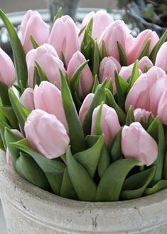 Spring Tulips - My site Pink Tulips, Tulips Flowers, Fresh Flowers, Spring Flowers, Beautiful Flowers, Garden Care, Tulips Garden, Planting Flowers, Winter Flowers In Season