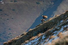 The meeting. Chamois in the Tatra Mountains, Poland. Tatra Mountains, Wild Animals, Poland, Nature, Pictures, Naturaleza, Nature Illustration, Off Grid, Wild Ones
