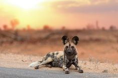 Animal Photography, Color Photography, Digital Photography, African Wild Dog, Animal Drawings, Drawing Animals, Wild Dogs, Hyena, Animals Beautiful