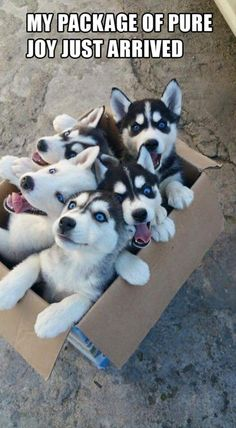 Pure joy is right!! #dogs #adorable #siberianhuskies