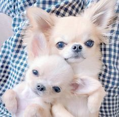Chihuahua are a very interesting dog breed. Here are 15 things that only a Chihuahua dog parent would understand about their Chihuahua. Chihuahua Puppies, Cute Dogs And Puppies, Baby Puppies, Pet Dogs, Dog Cat, Chihuahuas, Cute Baby Animals, Animals And Pets, Beautiful Dogs