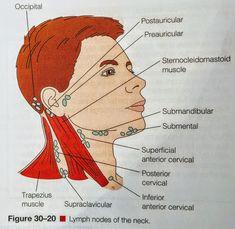 Lymph Nodes -Head & Neck Lpn Nursing, Nursing Tips, Nursing Notes, Medical Coding, Medical Technology, Sternocleidomastoid Muscle, Np School, Pharmacy Student, Fundamentals Of Nursing
