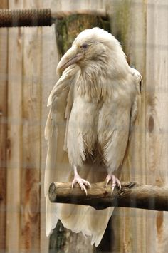 Rare white raven.  Photo by xxsimplicity-stock. (Please link back and give credit!)