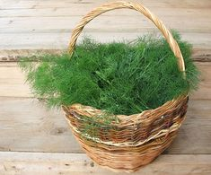 """Dill is probably the herb with the longest """"career"""" in the world, its use as an spice in foods, but also as a medicine. Dill has been widely used in Tibetan medicine. Healthy Facts, Medicinal Herbs, Organic Vegetables, Herb Garden, Herbal Remedies, Herbalism, Natural Products, Wicker Baskets, Spices"""