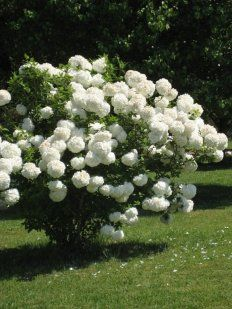 85 Best Snowball Bush Images Garden Snowball Garden Plants