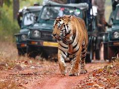 Viaje india safari para ver tigres - http://www.vivaindia.com.mx/package/safari-de-los-tigres/