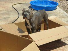 Sabre loves his boxes. #sabrehasbro #pitbull #amstaff