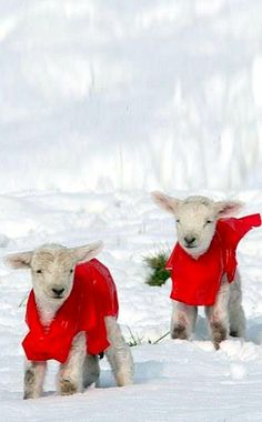 """So cute!  Newborn lambs wear red coats to keep warm in the snow.  Does this remind anyone else of Tomie dePaola's book  """"Haircuts for the Woolsies""""?"""