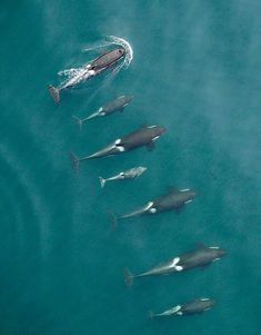 Puget Sound's killer whales looking good-. New drone photo technology is allowing scientists to get a better look at Northern and Southern resident orcas in the Salish Sea. A northern-resident killer-whale family is shown above. Orcas, Beautiful Creatures, Animals Beautiful, Majestic Animals, Water Animals, Underwater Life, Ocean Creatures, Tier Fotos, Sea And Ocean