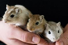 Gerbil Care tips