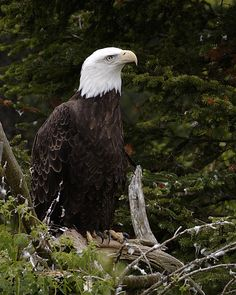 Bald Eagle by bieber
