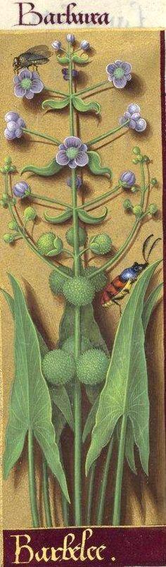 Barbelee - Barbarea (Sagittaria sagittæfolia L. = fléchière) -- Grandes Heures d'Anne de Bretagne, BNF, Ms Latin 9474, 1503-1508, f°225v