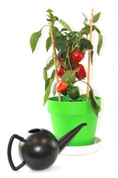Paprika's in potten doen het ook erg goed. En zo makkelijk te verplaatsen naar het zonnigste plekje in de tuin!  http://www.bloempotwebshop.nl/index.php?p=2&sc=44