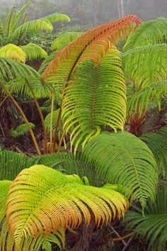 Orange fronds - Amau fern - Sadleria cyatheoides - Big Island - Hawaii by… Container Gardening Vegetables, Succulents In Containers, Container Flowers, Container Plants, Vegetable Gardening, Organic Gardening, Tropical Landscaping, Tropical Garden, Tropical Plants
