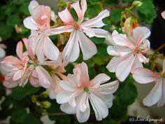 Pelargonium, Honeywood Suzanne