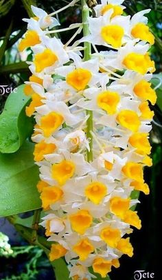 Orchids Garden, Orchid Plants, Exotic Plants, Beautiful Rose Flowers, Exotic Flowers, Amazing Flowers, Rare Orchids, Dendrobium Orchids, Fruit Flowers