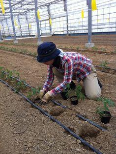 中玉トマトを2000本を定植
