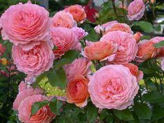 Rosa 'Louise Clements'