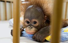 Move over, ER! Welcome to the world's only orang-utan hospital #DailyMail