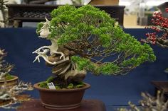 I've noted on a number occasions that juniper bonsai are primarily prized for two characteristics – the movement of the trunk and the quality of the deadwood. That's a good starting point when evaluating junipers on display or in the sales area. At last year's Taikan-ten in Kyoto I didn't see many junipers that lacked …