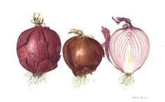 Beautiful form on these red onions by ciuccio51, via Flickr