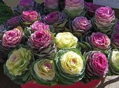 Kale as Cut Flowers Beautiful! When kale is about six inches tall start removing the lower leaves. Cabbage Plant, Cabbage Flowers, Ornamental Cabbage, Ornamental Plants, Beautiful Flower Arrangements, Beautiful Flowers, Unusual Flowers, Flowering Kale, Bonsai Seeds