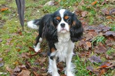 Miss Milla at Home: Fleurtje, Tricolor Cavalier King Charles Spaniel