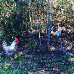 "@forestedgefarm: """"Henry the Great"" our Barred Rock Roo is standing guard while the ladies forage in the forest #forestedgefarm #pasture#girlsongrass #farmtofork #barredrock #farmfresheggs #buylocal #montgomerytexas #farmlife"""
