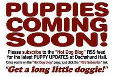 Dachshund Hall of Puppies - Dachshund Breeder AKC Miniature Dachshund Puppies For Sale Dachshund Breeders, Dachshund Puppies For Sale, Fort Worth, Dallas, Texas, Miniatures, Animals, Pet Dogs, Animais