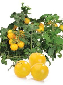 AeroGarden 800516-0208 Golden Harvest Cherry Tomato Seed Kit by AeroGrow. $16.67. Continuous growth for months. Works in all AeroGarden models. Comes with 7 pre-seeded grow pods, nutrients and tending and harvesting guide. Vine-ripened, home-grown flavor all year round. Our golden harvest tomaotes ripen to bright yellow with a very sweet flavor. Excellent for adding color and flavor to your favorite dishes. Ready to harvest in ten to twelve weeks and continues producing fruit f...