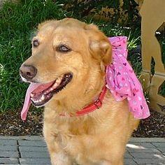 Helena, AL - Golden Retriever. Meet Sporty Spice a Dog for Adoption. Golden Retriever Mix, Pet Adoption, Spice, Meet, Sporty, Puppies, Dog, Cats, Animals