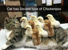 Bengal cat, Kitten Meme: Cat has Severe type of ChickenpoxTap the link to check out great cat products we have for your little feline friend!